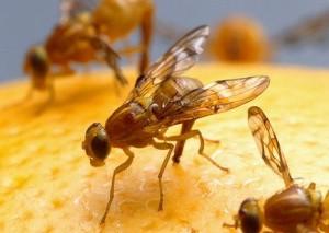 fruit-fly