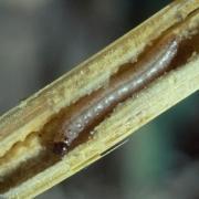 ostrinia-nubilalis-larvae-180x180
